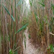 Footpath in a reed — Stock Photo