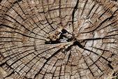 Alte Baum-Abschnitt — Stockfoto