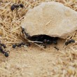 Royalty-Free Stock Photo: Ants