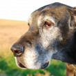 Portrait of an old dog - Stock Photo