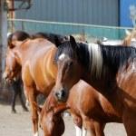 Horses — Stock Photo #1154730