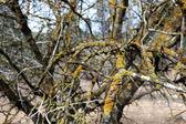 Dying tree — Stock Photo