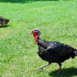 Stock Photo: Turkey-cock and duck