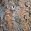 Bark of pine-tree - Stock Photo