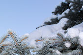 Snow on the branch of fir tree — Stock Photo