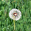 Royalty-Free Stock Photo: Dandelion