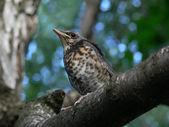 鸟。雏鸟. — 图库照片