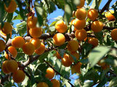 Cherry plums on the tree — Stock Photo
