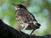 Pájaro. polluelo. — Foto de Stock