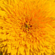 Close-up of yellow sunflower — Stock Photo