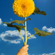 Sunflower in a hand — Stock Photo