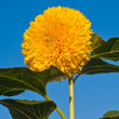 Sunflower on blue sky background — Stock Photo