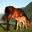 Foal with mum a horse — Stock Photo