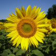 Royalty-Free Stock Photo: Sunflower