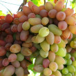 Grape vine — Stock Photo #1029461