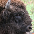 Wild bison — Stock Photo #1033416