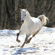 Skipping white horse - Stock Photo