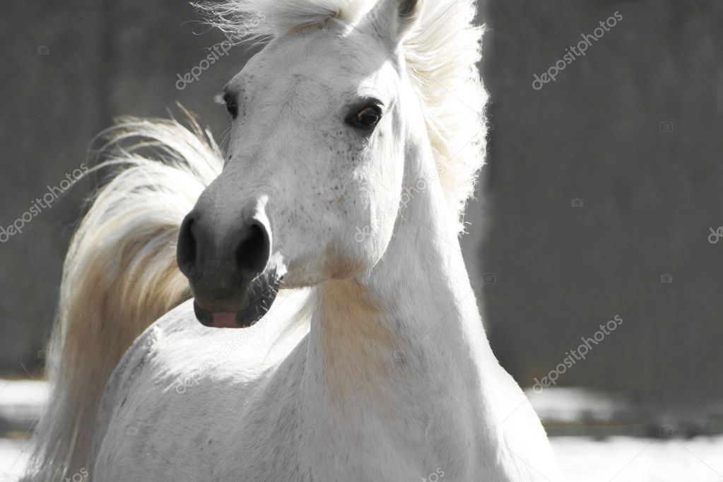 Beautiful white horse on a neutral background  Stock Photo #1081411