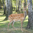 DEER Cervus elaphus — Stock Photo