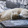 Sleeping white bear - ストック写真