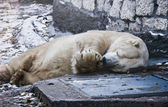 Sleeping white bear — Stock Photo