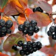 Black Ashberry In Autumn Season — Stock Photo