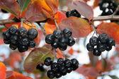 Black Ashberry In Autumn Season — Stock Photo