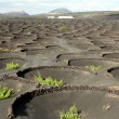 Winery Plantation On Lanzarote — Stock Photo