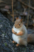 Squirrel sitting on the tree stem late autumn — Stock Photo
