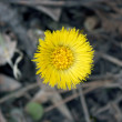 Royalty-Free Stock Photo: Coltsfoot