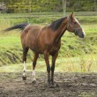 Sorrel horse in the mud — Stock Photo