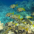 Shoal of tropical fish — Stock Photo