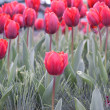 Bright spring tulips — Stock Photo