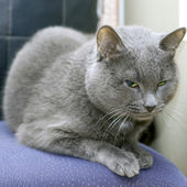 Gray Cat — Stock Photo