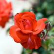 Scarlet rose - Stock Photo