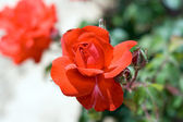 Dieprode rose — Stockfoto