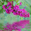 Lilac (syringa) — Stock Photo