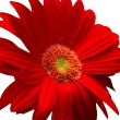 Gerbera — Stock Photo #1204576