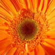 Gerbera — Stock Photo #1205873