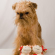 Brussels Griffon — Stock Photo #1022833