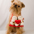 Brussels Griffon - Stock Photo