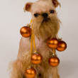 Brussels griffon and decorations of Chri — Stock Photo