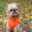 Dog on an autumn walk — Stock Photo