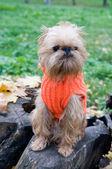 Dog on an autumn walk — Stock Photo