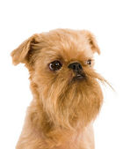 Brussels griffon — Stock Photo