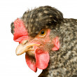 Beautiful hen — Stock Photo #1048454