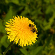 Bee on a dandelion — Stock Photo