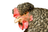 Beautiful hen — Stock Photo