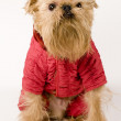 Stock Photo: Dog in red jacket