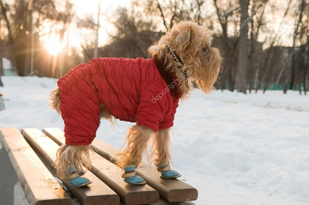 The dog of breed the brussels griffon walks in the winter in a warm jacket and boots.  Stock Photo #2502881